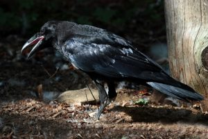 CORVO IMPERIALE - Raven - Corvus corax - Luogo: Cogne (AO) - Autore: Alvaro